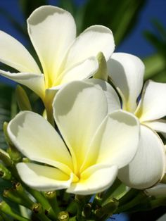 Plumeria, If flowers could make butter. In the roads in Australia on the way to work.
