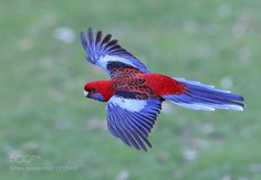 Colourful Wings by michaelcl1 #animals #animal #pet #pets #animales #animallovers #photooftheday #amazing #picoftheday