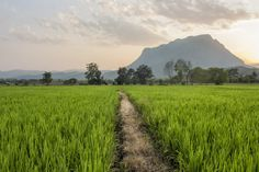 Path Through the Rice Fields - Path through the rice fields in Chiang Dao, Thailand