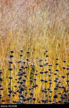 Phlomis tuberosa 'Amazone', and Molinia caerulea subsp arundinacea 'Karl Foerster'