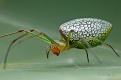 Sliver plated Long Jawed Orb Weaver Spider by*melvynyeo