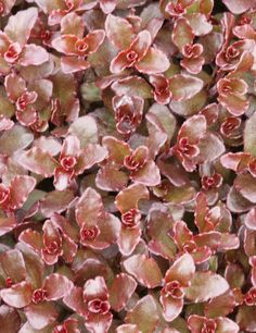 """Sedum Spurium 'nonov' Zone: 3-8  Flowers: Crimson pink, star-shaped  Blooms: 2-4 weeks, starting June   Foliage: Deep maroon   Tolerates dry soil once established  Excellent border or rock garden plant Features Deer Resistant Attractive Fall Color Attractive Foliage Drought Tolerant Sun Exposure Full Sun Flower Colors Pink Foliage Colors Red Foliage Height 2-4""""  Spacing 8""""x8"""" Flower Colors, Colorful Flowers, North Facing Garden, Rock Garden Plants, Low Maintenance Plants, Drought Tolerant, Star Shape, Bloom, Rose"""