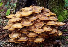Honey Mushrooms, like all mushrooms are only a small part of the fungus. The main body of the mushroom is called mycelium and is hard to see. Mycelium can spread for miles, and therefore are the world's largest organisms. Some Honey Mushrooms are estimated to be over 400 years old.