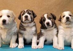 Central Asian Shepherd Dog (CAO, Alabai, Aziat)  PUPPIES for SALE!