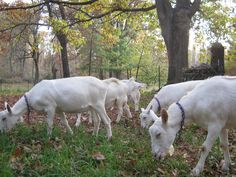 These are Saanen Dairy goats.  One of these goats will milk at least a gallon a day and we have one who milks at least 2 gallons per day.