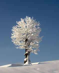✯ White Lonely Tree