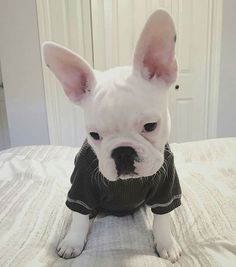 C A S P E R P I E R R E  Regram of @casper_le_frenchie  . #frenchbulldog…