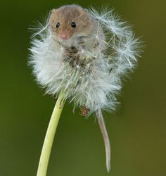 harvest mouse and dandelion