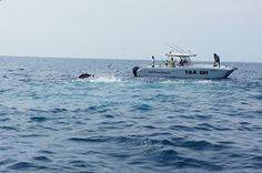 Two Black Marlin Releases at Hannibal Bank/Isla Montuosa here in Panama!!  #Marlin #Panama #Fishing www.facebook.com/panamafishing