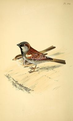 birds-11982 House Sparrow  botanical floral botany natural naturalist nature flowers flower beautiful nice flora plants blooming ArtsCult.com Artscult ArtsCult vintage printable public domain 300 dpi commercial use 1800s 1700s 1900s Victorian Edwardian art clipart royalty free digital download picture collection pack paintings scan high qulity illustration old books pages supplies collage wall decoration ornaments Graphic engravings li