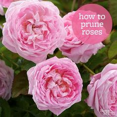 Rose bushes need to be pruned in a special way, so make pruning more efficient with these tested tips.