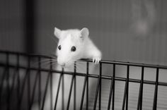 If you like rats, the link is not as cute as this picture.