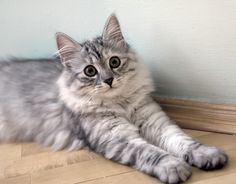 Siberian cat.. ever want a hypoallergenic cat? Well here ya go.. the largest of the Domestic breeds, can top the scales at 20lbs