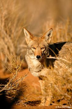 True men don't kill coyotes. Mojave Desert, CA. (what about true women -LOL)
