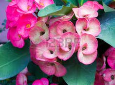 Image result for crown of thorns flower