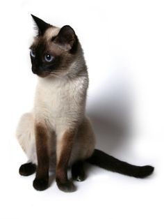 Siamese Cat Breed Profile | Cat Breeds