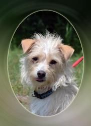 Spike is an adoptable Cairn Terrier Dog in Wolfe City, TX. ~~~~~~~~~~~~~~~~~~~~~~~~~~~~~~~~~~~~~~~~~~~~~~~~~~~~~~~ We are an all volunteer organization. All our pets are spayed/neutered, UTD on vaccin...