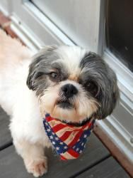 Baxter is an adoptable Shih Tzu Dog in Smyrna, GA. This sweet and adorable guy has so much potential. He came to us in rough shape, but will be so handsome once he is groomed and puts on some pounds. ...