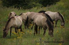 Paarden, AnimalPhotography, natuurgebied Meinerswijk in Arnhem juli 2015