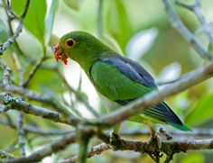The Brown-backed Parrotlet (Touit melanonotus) also known as the Black-backed Parrotlet, the Black-eared Parrotlet, and Wied's Parrotlet, is a small (15 cm or 6 in) green parrot found in south-eastern Brazil from Bahia to southern São Paulo. It has a dark brown mantle and back, brown ear coverts, and red outer tail with back tips. They frequent humid forest from 500–1,000 m (1,600–3,300 ft) (occasionally down to sea level), and are mostly found in small flocks of 3–20 birds.