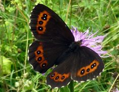 Photograph of A Large Ringlet Butterfly - Erebia euryale - Photo: John Sellers