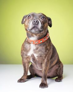 Staffordshire Bull Terrier, my favourite ever breed of dog, though it will be a while until I can bring myself to get another one after the loss of my best friend Mr Raz