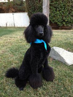 Sir Harley, the Standard Poodle