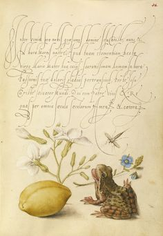 Joris Hoefnagel - Gillyflower, Insect, Germander, Almond, and Frog, Mira calligraphiae monumenta, fols. 1-129 written 1561 - 1562; illumination added about 1591 - 1596