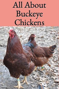 All About Buckeye Chickens provides in-depth information about the history, breed characteristics, and why this beautiful chicken breed makes wonderful backyard chickens. Raising Backyard Chickens, Backyard Poultry, Pet Chickens, Buckeye Chicken, Beautiful Chickens, Work With Animals, Chicken Breeds, Baby Chicks, Big Bird