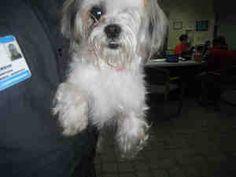 DOLLIE is an adoptable Shih Tzu Dog in Pensacola, FL.  ...