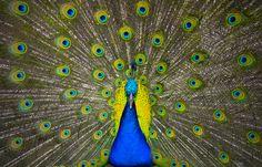 Peacock photo by Adam Baron