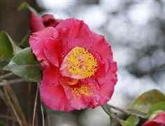 Camellia japonica 'Bob Hope' (U.S., 1969)