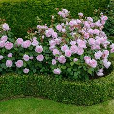 Olivia Rose Austin--a prolific bloomer. Lovely pink to accent, or star, in any garden.