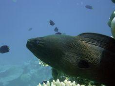 Moray eel. Makunudu Island Resort
