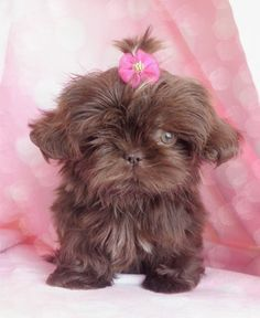 pretty chocolate shih tzu puppy ♥