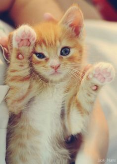 I want a little orange kitten with blue eyes and his name is going to be Hank. :)