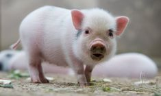 Photo of the Day: Mini Pig in Hannover Zoo - SPIEGEL ONLINE   Lindooooo!