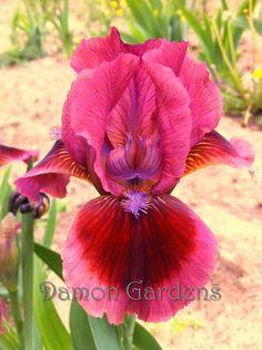 Dark Rose Pink and Red - Iris Cat's Eye