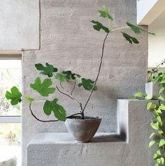 En enkel fikonplanta