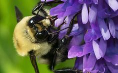 The U.S. Fish and Wildlife Service announced on March 15 that it will consider whether to include the Western bumblebee and the Yellow-banded bumblebee on the list of protected species under the Endangered Species Act (ESA).  Currently, no bees are listed as threatened or endangered under the ESA. That's a little surprising, given all the attention Colony Collapse Disorder and bee disappearance have been getting for the last few years.