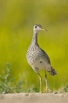 Upland Sandpiper (Bartramia longicauda) is a large sandpiper, closely related to the curlews. Older names are the Upland Plover and Bartram's Sandpiper. It is the only member of the genus Bartramia.