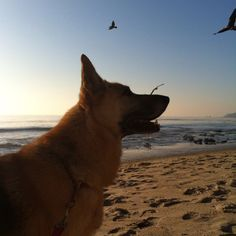 Maggie was adopted from Coastal German Shepherd Rescue OC in January. gimme.