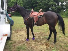 All Around Appendix Gelding