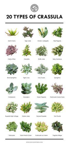 20 tipos de Crassula Plante Crassula, Crassula Succulent, Succulent Gardening, Succulent Terrarium, Planting Succulents, Succulent Plants, Terrarium Wedding, Cacti Garden, Indoor Gardening