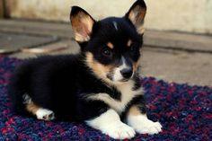 Black headed Tri Corgi puppy