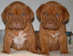 When I get a yard, the Dogue de Bordeaux will be my next dog!