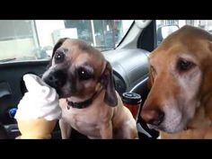 These Dogs Understand How You Feel About Ice Cream. And why Daisy gets it first...
