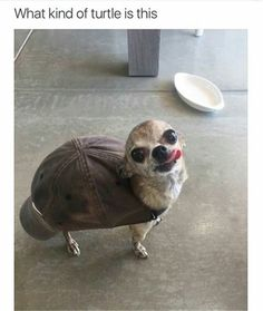 Chihuahua turtle clean funny
