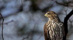Photograph Young Cooper's Hawk Posing by Rhett Herring on 500px