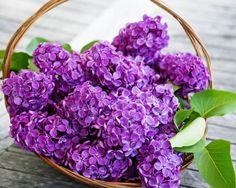 Sweet Home: Lõhnaval sirelil on ravivad omadused.